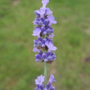 Lavandula angustifolia 'Melissa Lilac' - Lavendel 'Melissa Lilac'