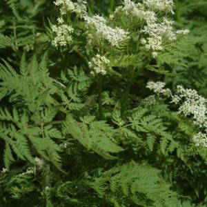 Myrrhis odorata - Süßdolde